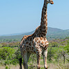 Proud Giraffe