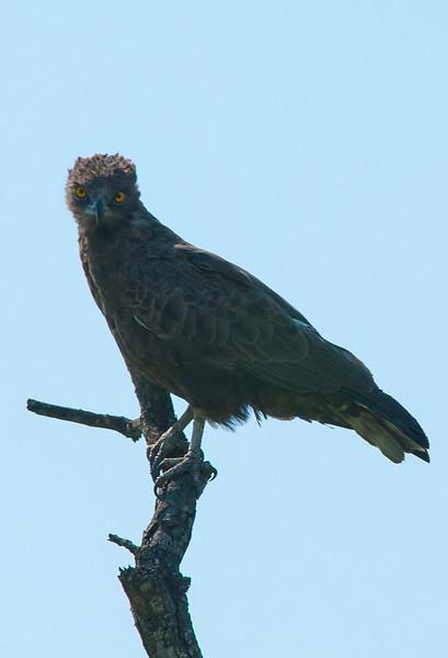 Brown Snake-eagle_