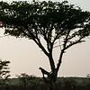 Cheetah Acacia Silhouette_