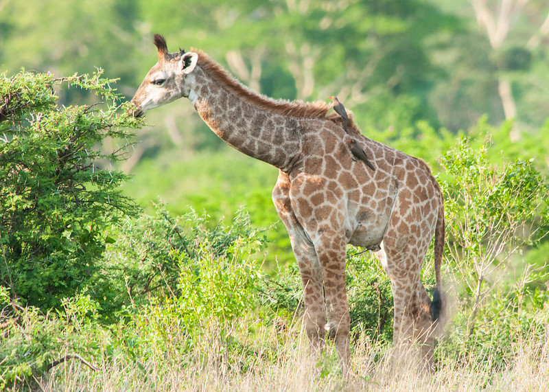 Red-billed Oxpeckers on Baby Giraffe