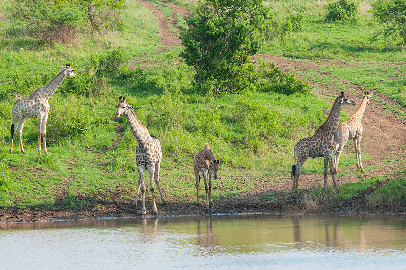 Five Giraffes at the Watering Hole_