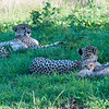 Cheetah family_