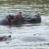 Wading Hippos_