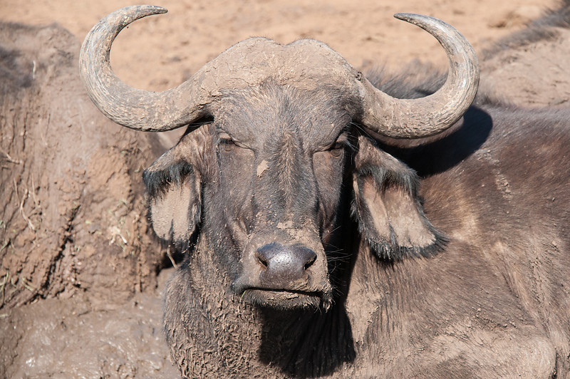 Buffalo Headshot-2