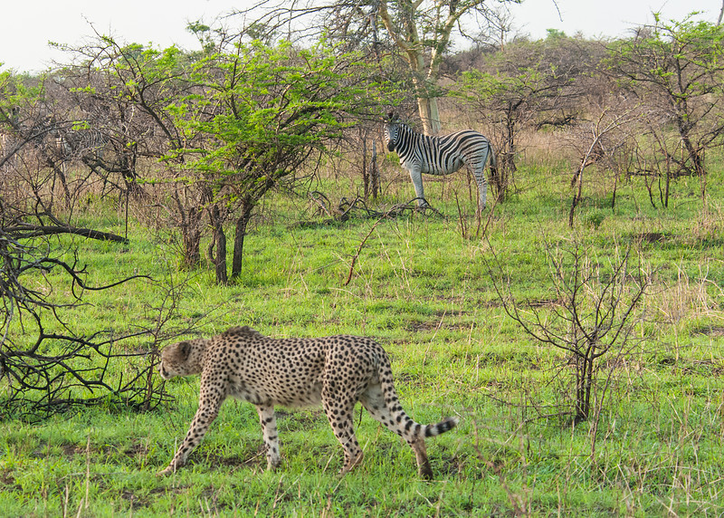 Cheetah and Zebra 1