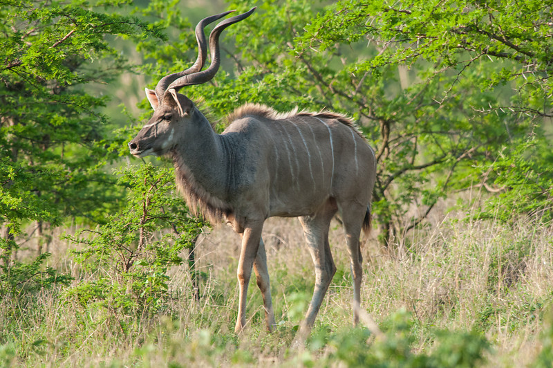 Male Kudu Profile