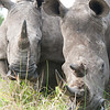 Male and Female While Rhinos