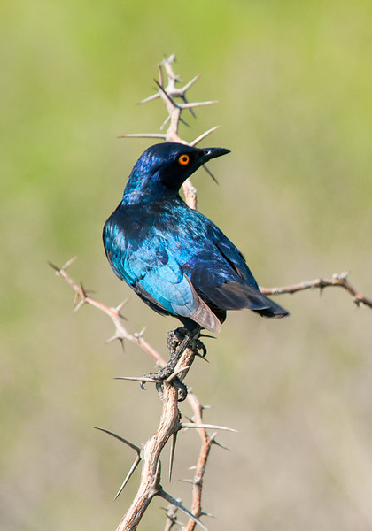 Greater Blue-eared Starling_