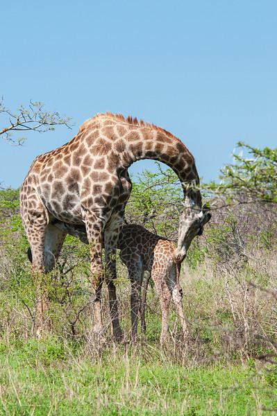 Nursing Giraffe Hug