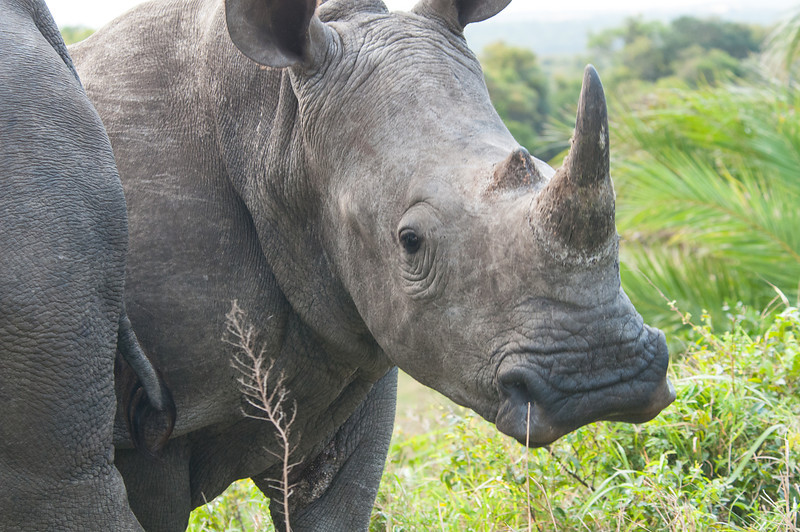 An Independent Female White Rhino!