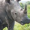An Independent Female White Rhino!