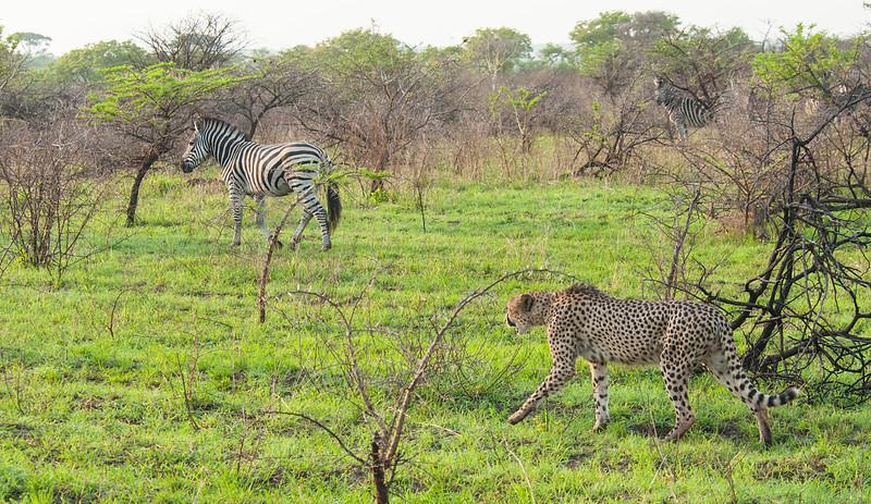 Cheetah and Zebra 3