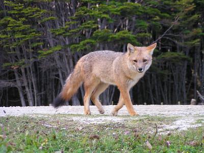 South American Gray Fox (Lycalopex griseus)