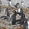 """Penguins, Chiloe Island, Chile  , <a href=""""http://www.motoquesttours.com/guided-motorcycle-tour.php?patagonia-chile-argentina-tour-23"""">http://www.motoquesttours.com/guided-motorcycle-tour.php?patagonia-chile-argentina-tour-23</a>"""