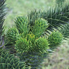 """Monkey Puzzle Tree - Auracaria  - Argentina  , <a href=""""http://www.motoquesttours.com/guided-motorcycle-tour.php?patagonia-chile-argentina-tour-23"""">http://www.motoquesttours.com/guided-motorcycle-tour.php?patagonia-chile-argentina-tour-23</a>"""