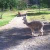 "Llama in Peru. Day 8 <a href=""http://bit.ly/peruadventure"">http://bit.ly/peruadventure</a>"