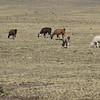 "Alpacas grazing in the altiplano in Peru<br />  <a href=""http://www.motoquesttours.com/guided-motorcycle-tour.php?peru-machu-picchu-adventure-25"">http://www.motoquesttours.com/guided-motorcycle-tour.php?peru-machu-picchu-adventure-25</a>"