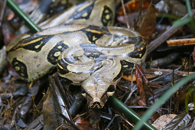 Red-tailed Boa (Boa constrictor)