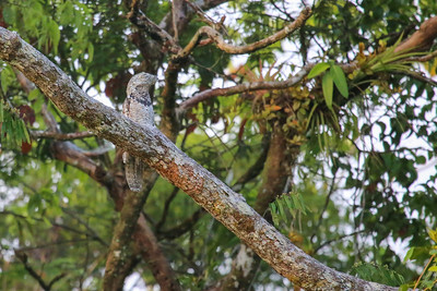 Great Potoo (Nyctibius grandis)