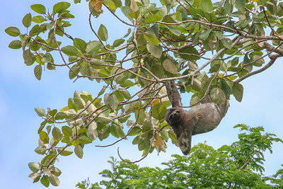 Brown-throated Three-toed Sloth (Bradypus variegatus)