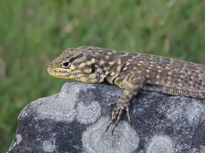 Spiny Whorltail Iguana (Stenocercus crassicaudatus)