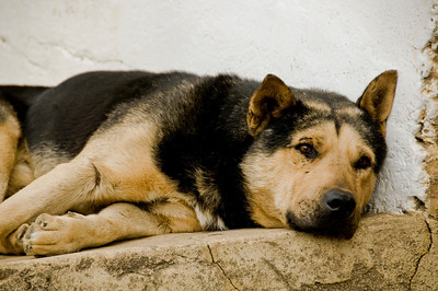 A peaceful dog relaxing on the sidewalk.