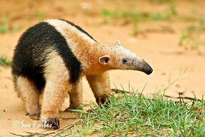 Collared Anteater Collared Anteater by Rio Negro, Pantanal, Brazil