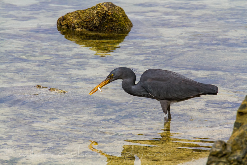 Gray Heron feeding
