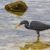 Gray Heron feeding