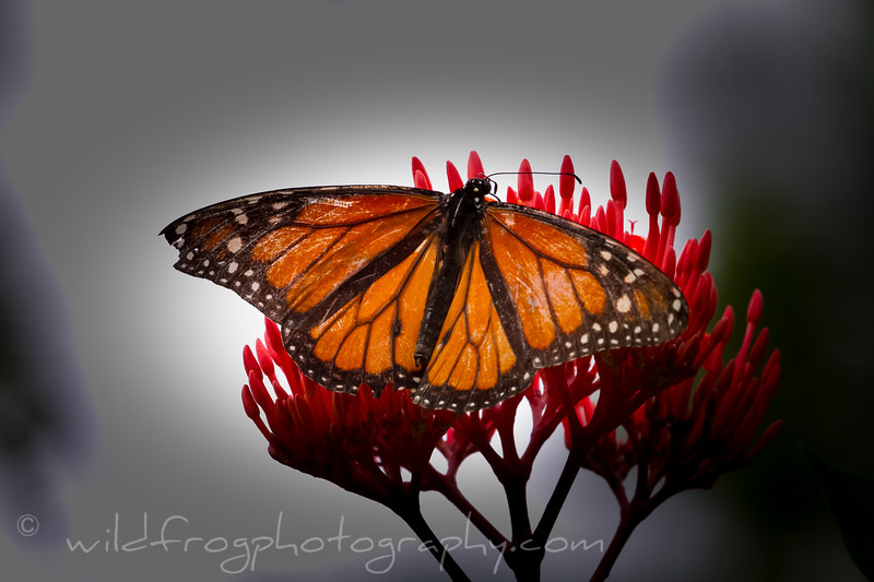 Butterfly near it's end