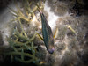 Damselfish, Piscine Naturelle, Île des Pins, New Caledonia.