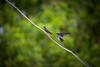 Pacific Swallows, New Georgia, Western Province, Solomon Islands.