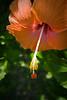 Hibiscus flower, Espiritu Santo, Vanuatu.
