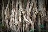 Detail of banyan tree, Tanna, Vanuatu.