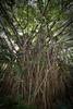 Banyan tree, Tanna, Vanuatu.