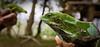 Banded iguanas, Mele, Efate, Vanuatu.