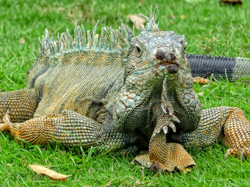 Iguana in the park - Guayaquil City