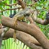 Iguana and Pigeons resting in trees - Guayaquil City