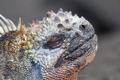 Marine iguana taking in the Sun