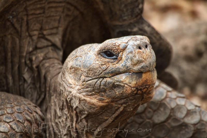 Very old man Tortoise