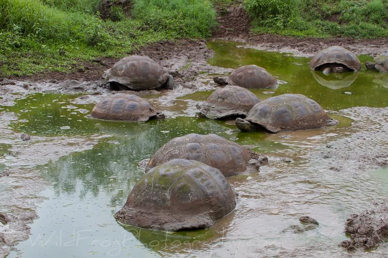Giant Galapagos Tortoises in mud hole