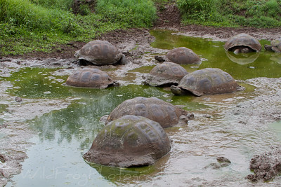 Giant Galapagos Tortoises take a rest in the mud