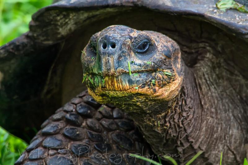 Tortoise eating grass