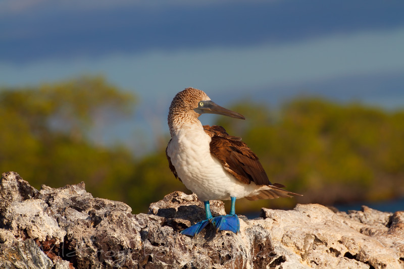 Blue footed booby in sun