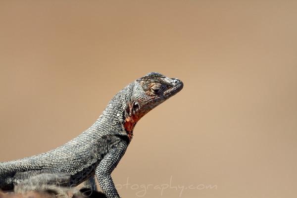 Male lava lizard on lookout