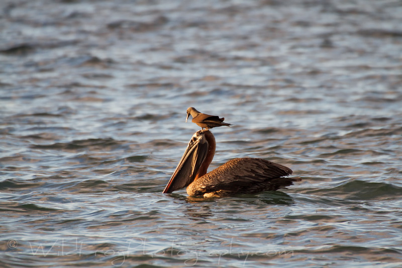 Brown pelican and friend