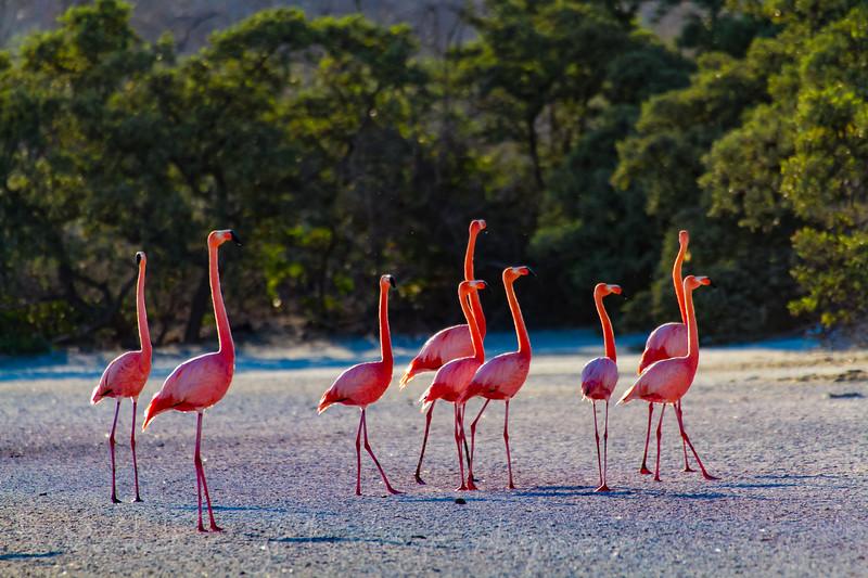group of Greater Flamingos - Galapagos