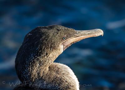 Head of flightless cormornat