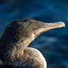 Closeup of Flightless Cormornay
