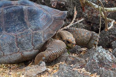 Giant Galapagos Tortoise feeding